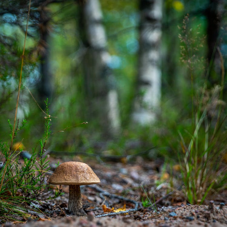 agaric comestible, aliments, arbres