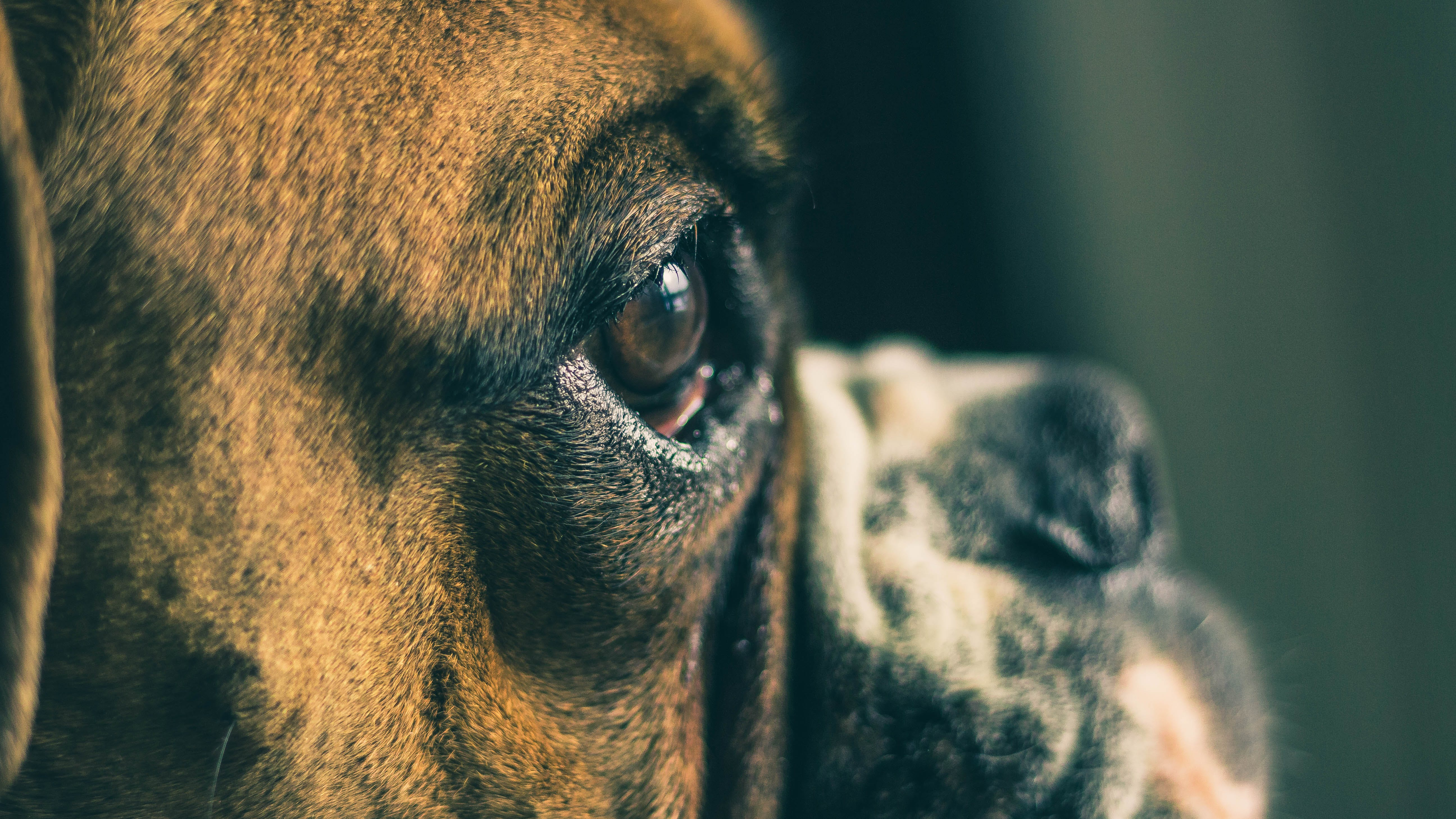 Free stock photo of 50mm, boxer, close up, cute