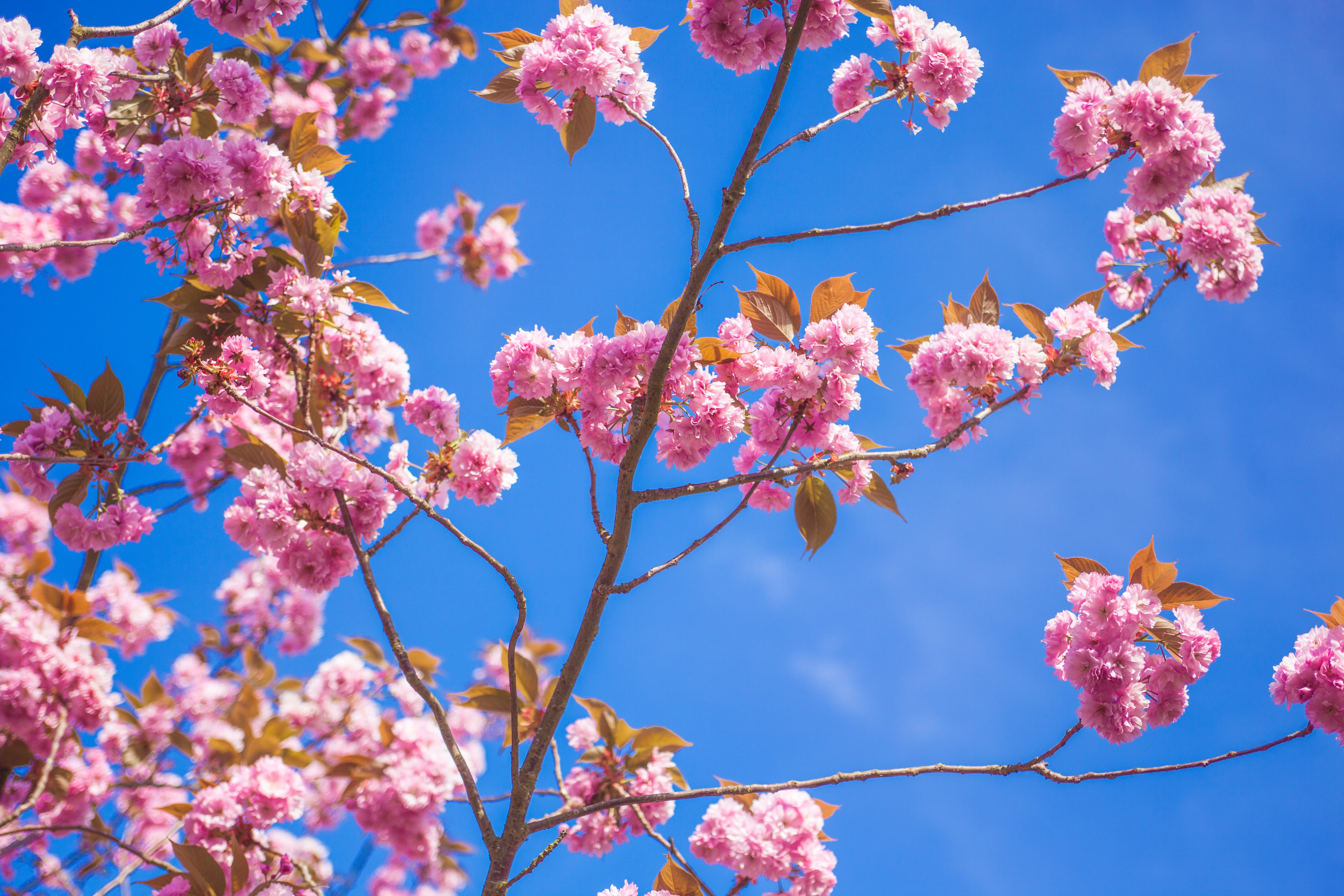 Pink Petaled Flowers Under Blue Sky