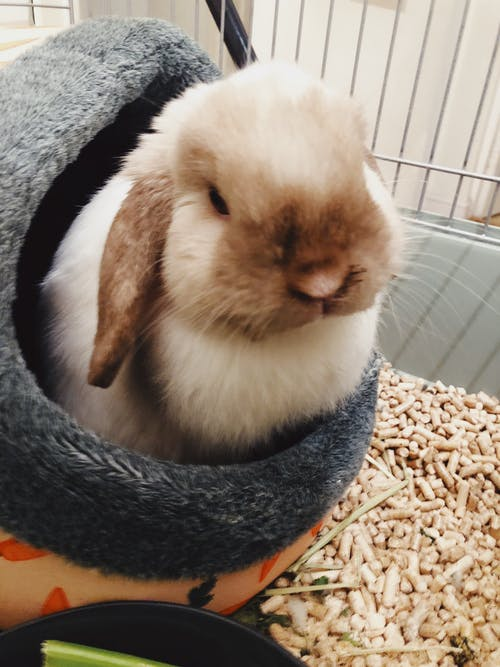 Immagine gratuita di animale domestico, coniglietto, coniglio, minilop