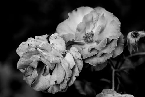 Free stock photo of art, black and white, close-up, flower