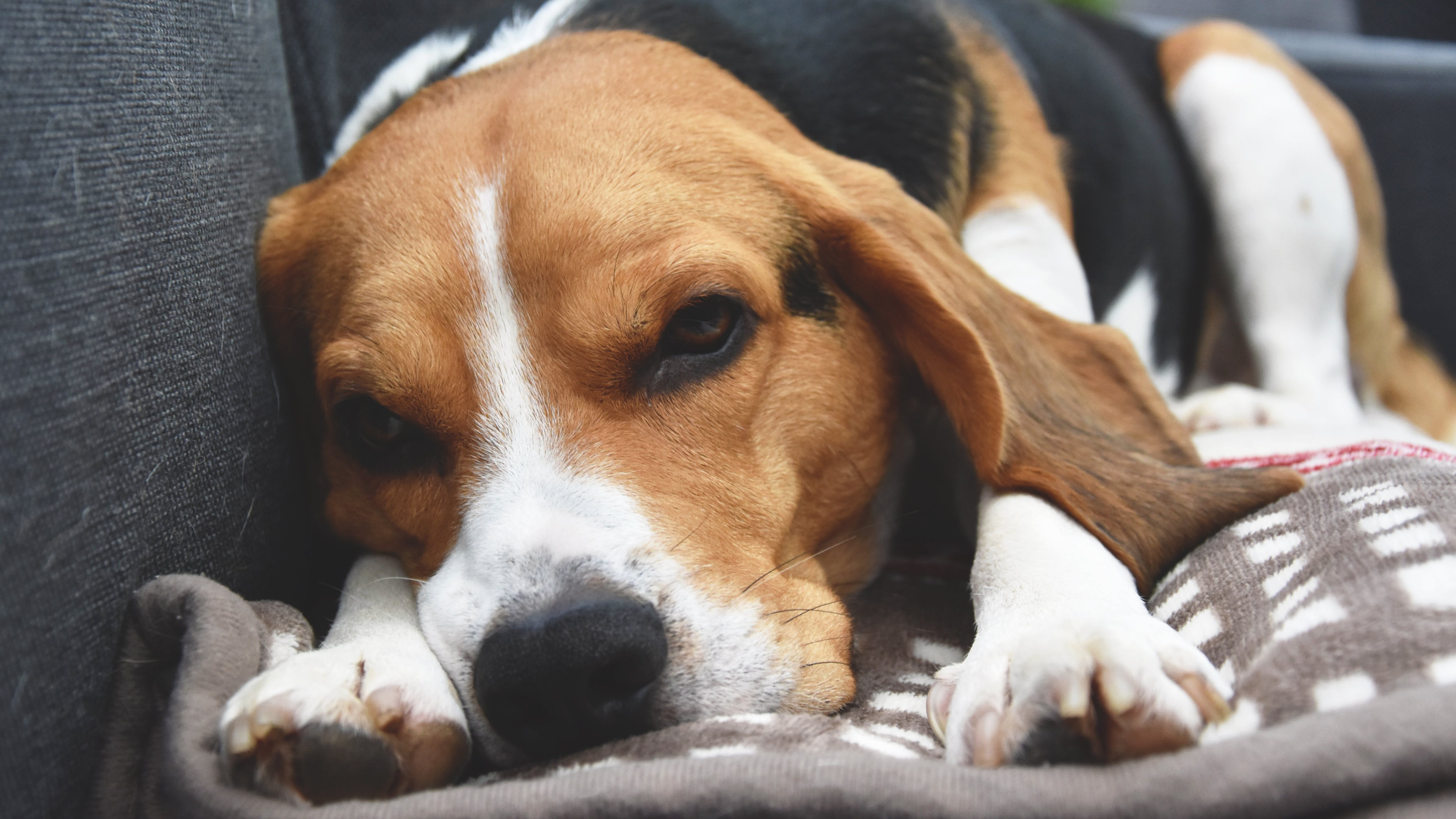 Free stock photo of beagle, close-up, cosy, cute
