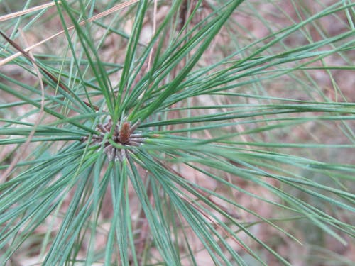 Free stock photo of close up, forest, nature, pine