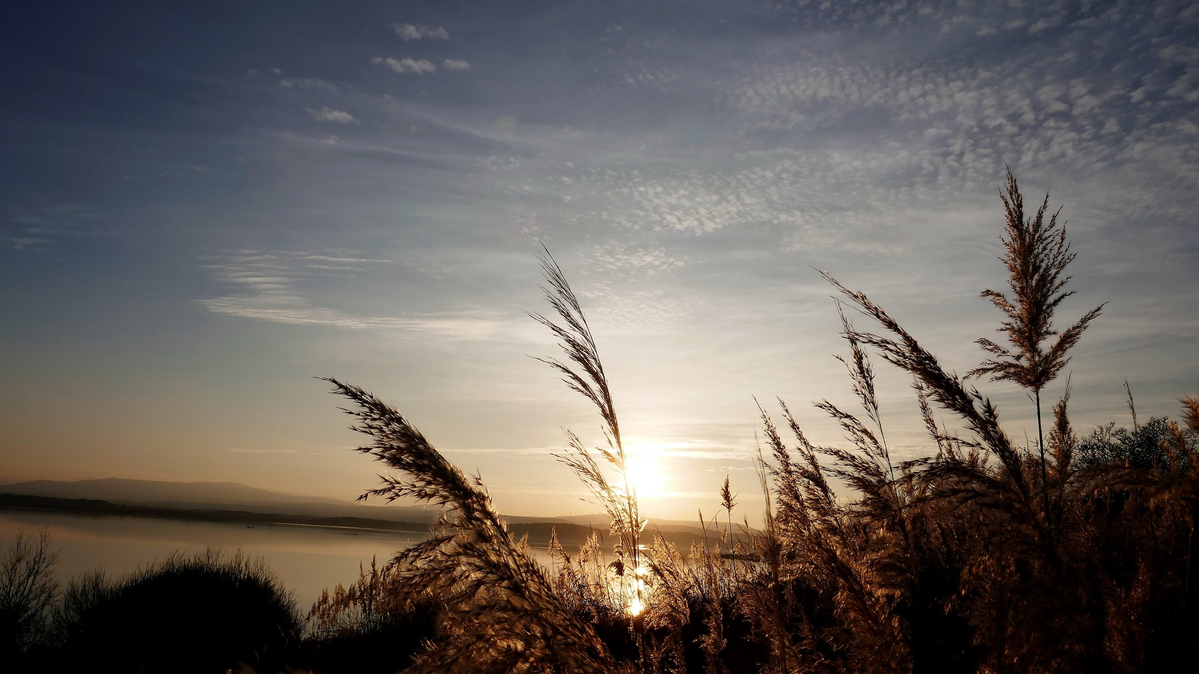 Free stock photo of golden hints, pampa grass in the setting sun