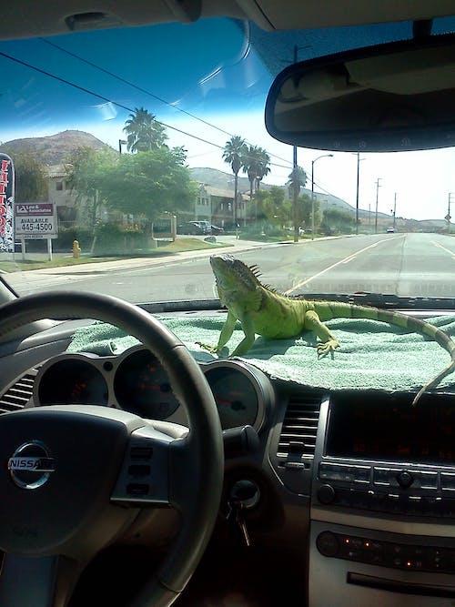 Photos gratuites de iguane
