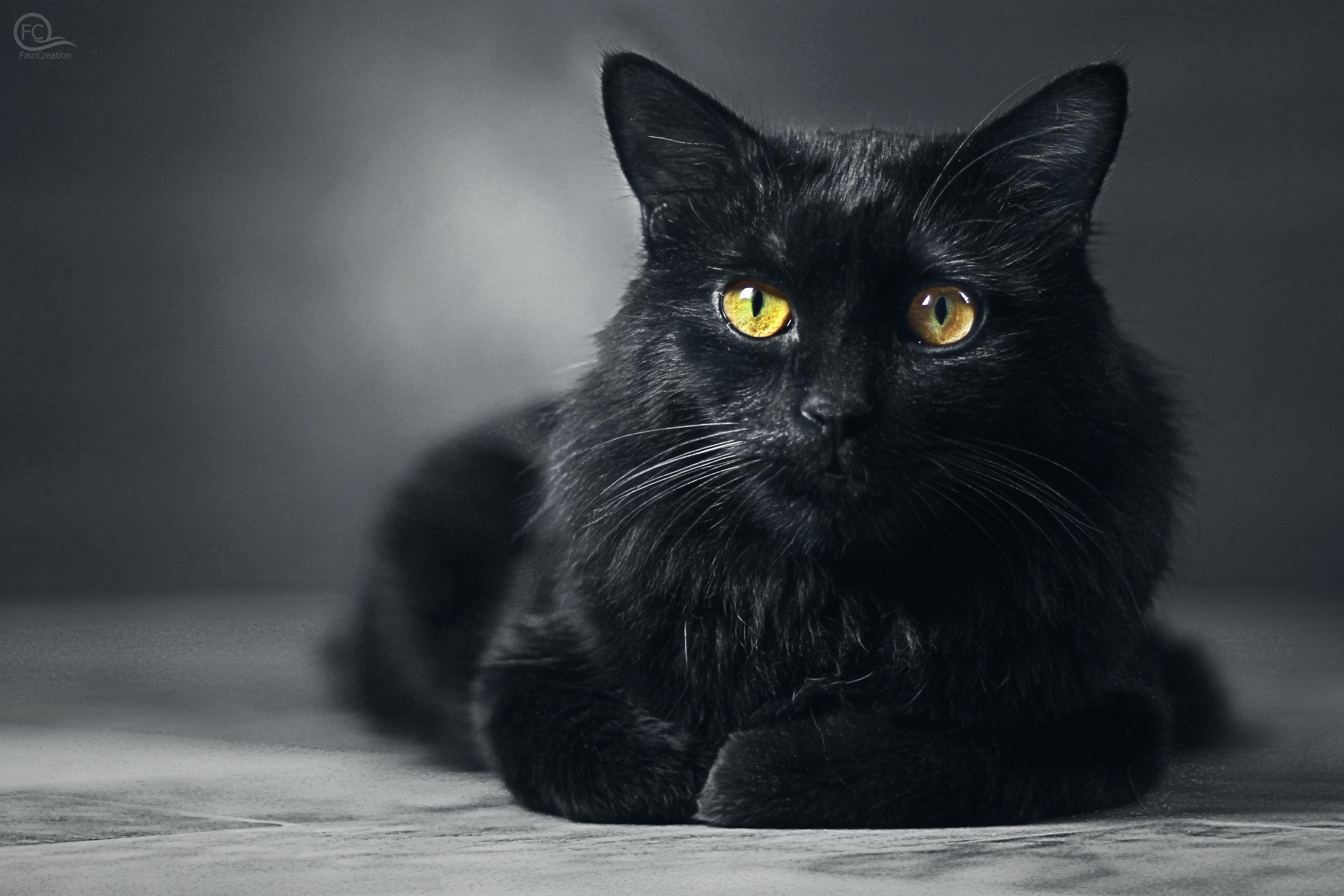 Free stock photo of black cat, black cat wallpaper, cat, FaiziCreation