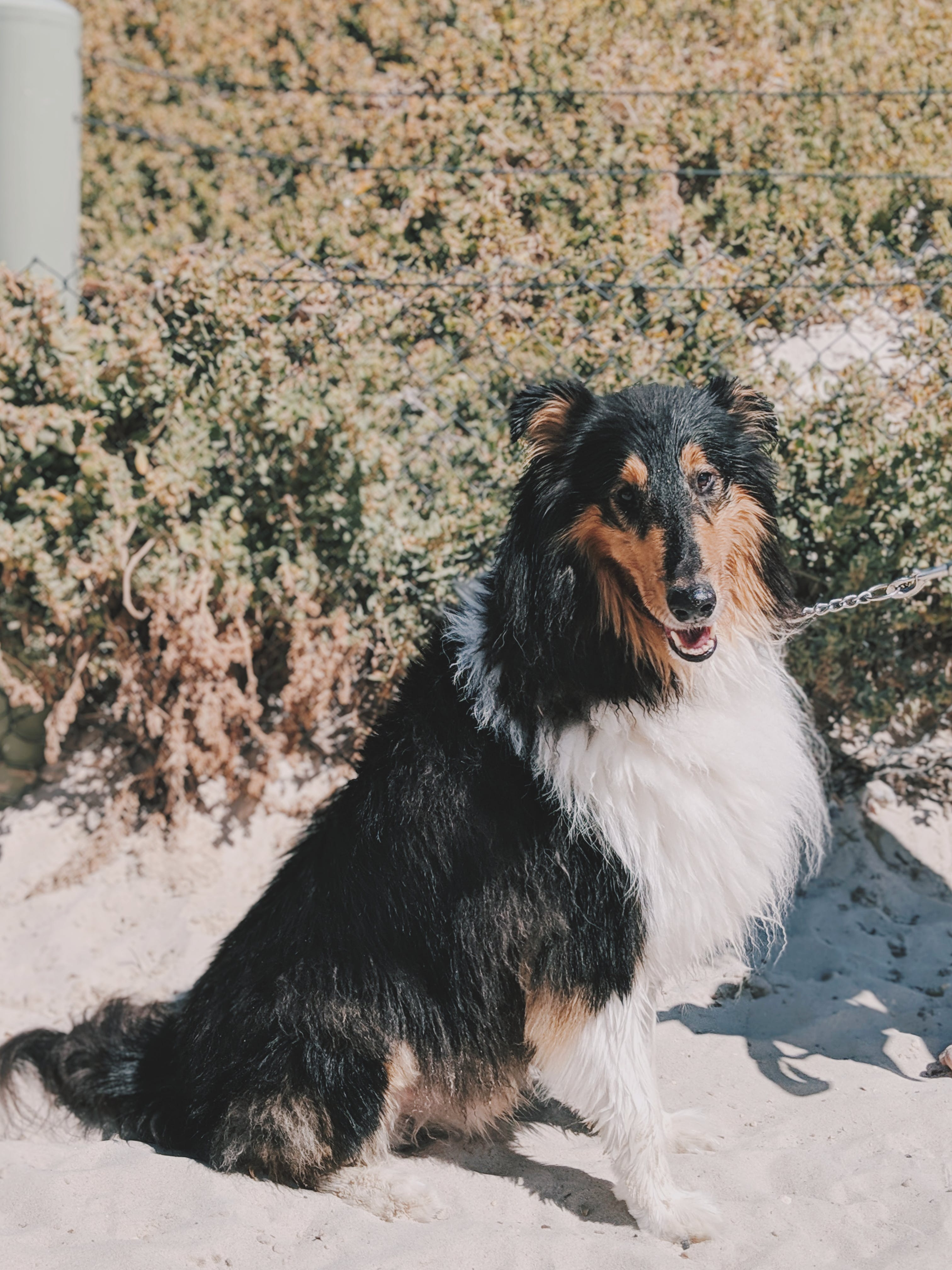Adult White And Black Rough Collie