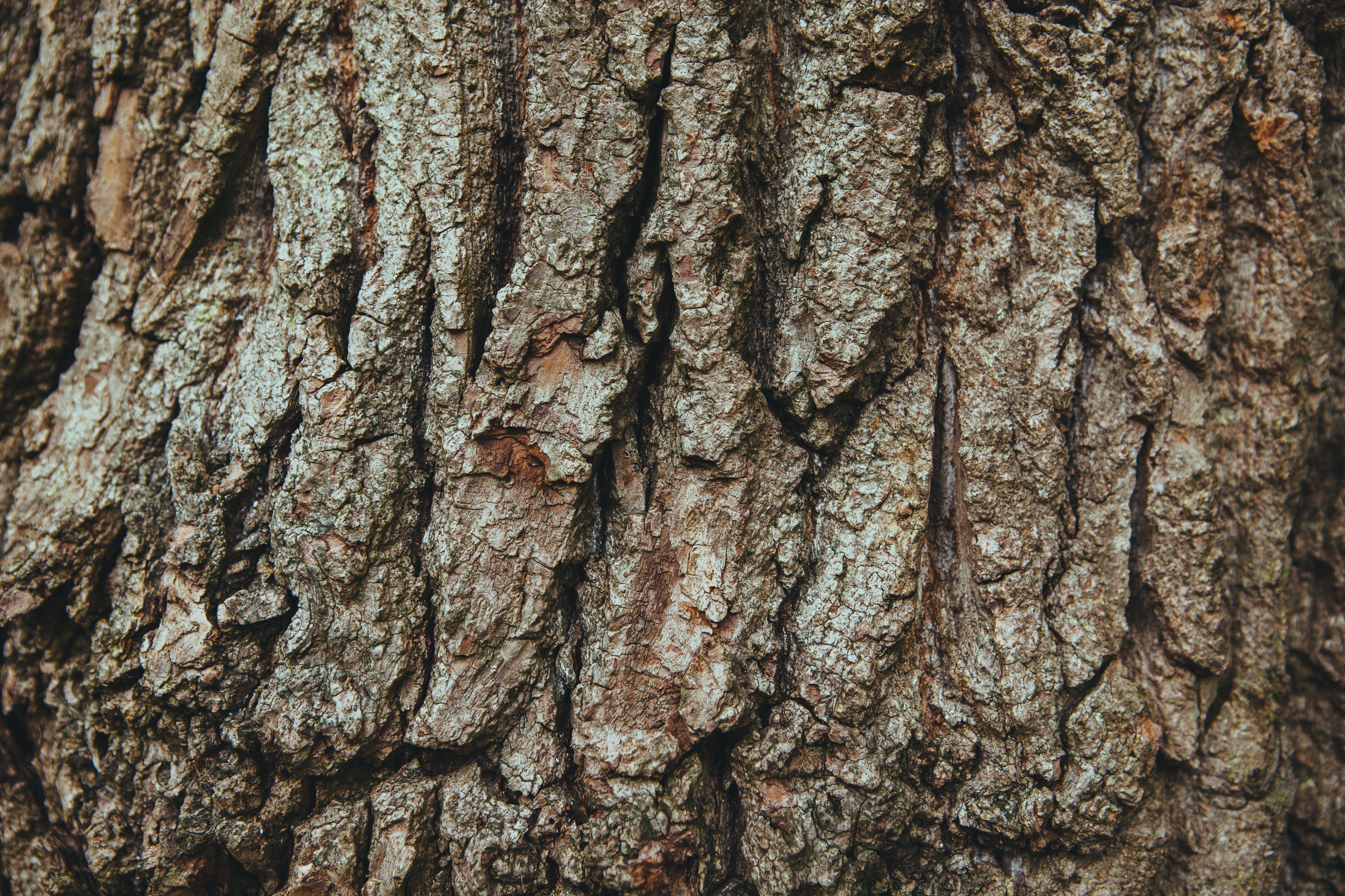 ağaç, ağaç kabuğu, ahşap, fransız meşe içeren Ücretsiz stok fotoğraf