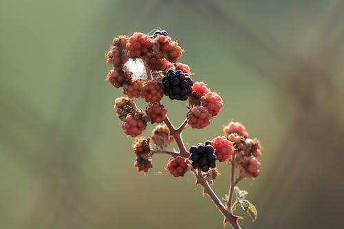 Free stock photo of bã äÿã rtlen, blackberry