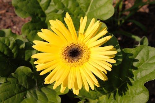 Immagine gratuita di botanica, estate, fiore, fioritura