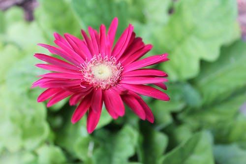 Immagine gratuita di all'aperto, bocciolo, botanica, colore