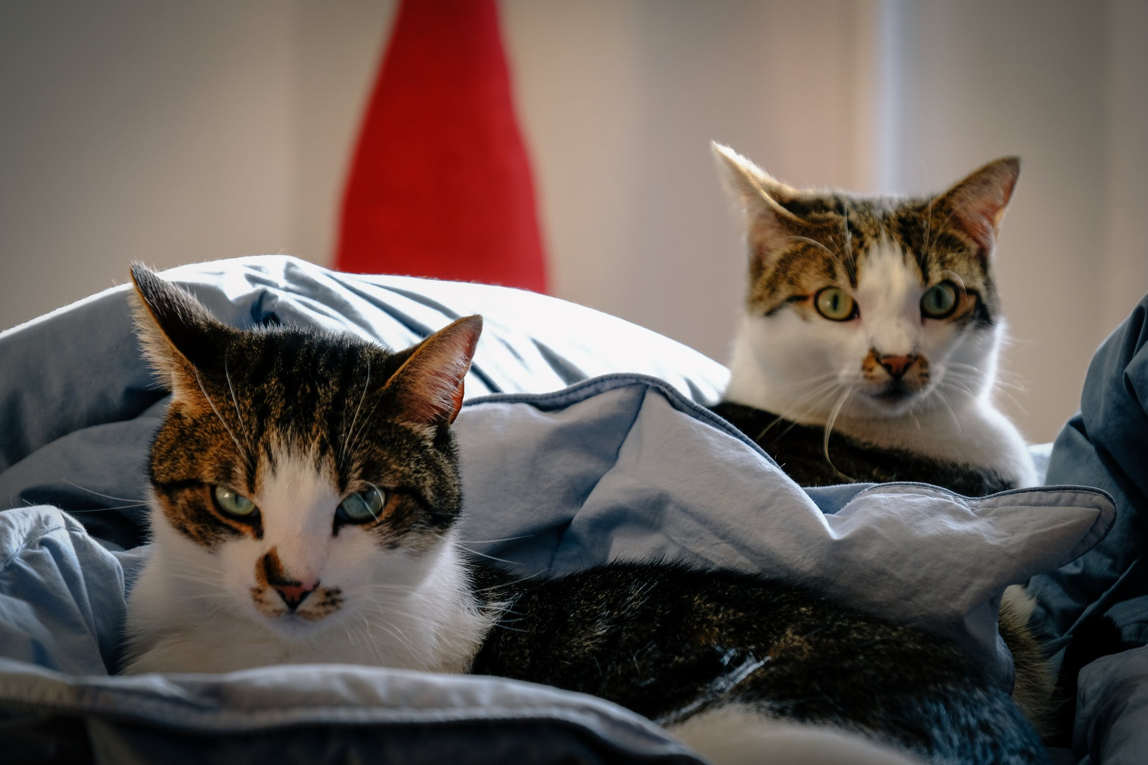 cats laying in owner's bed