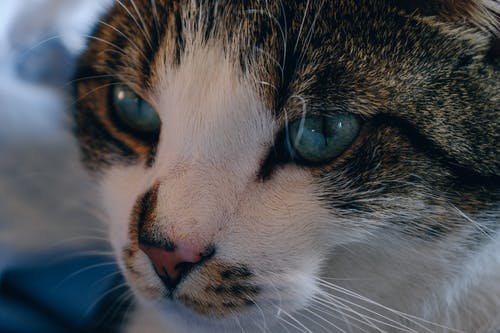 Безкоштовне стокове фото на тему «вуса, домашня тварина, кішка, котячі»