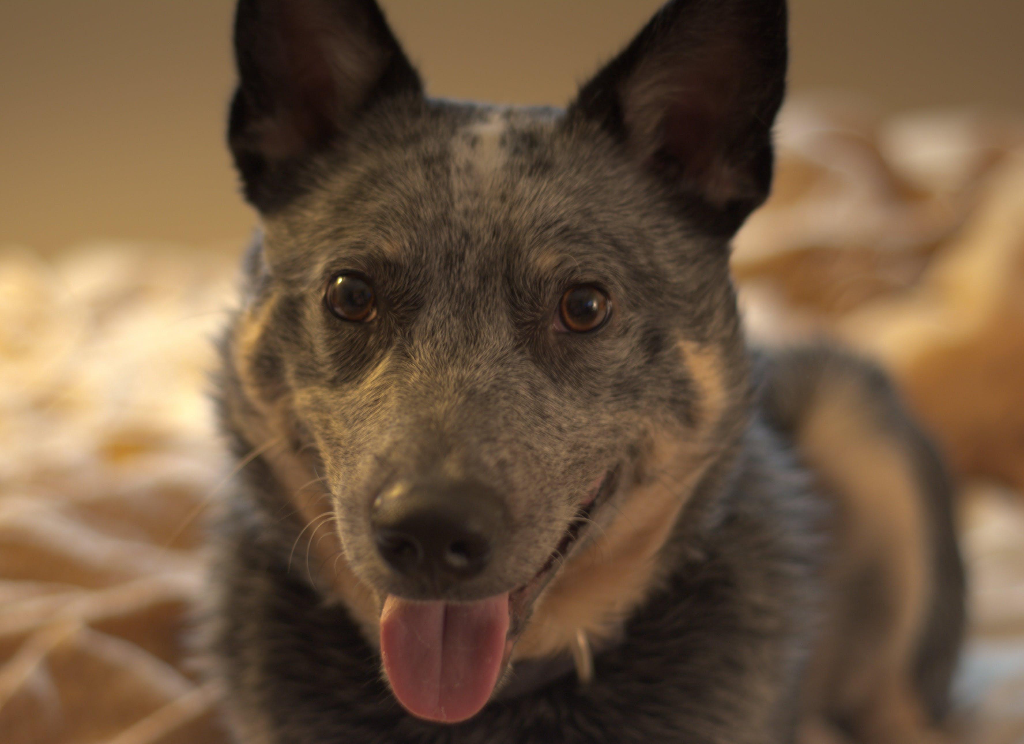 Free stock photo of australian cattle dog, blue heeler, dog