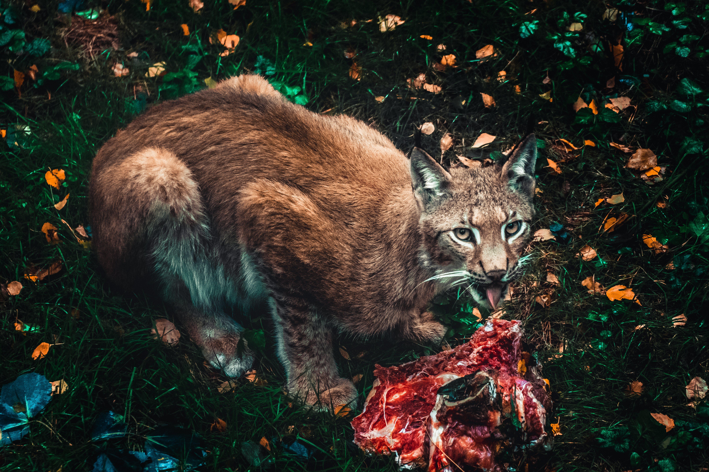Foto d'estoc gratuïta de animal salvatge, animals, carn, descobert
