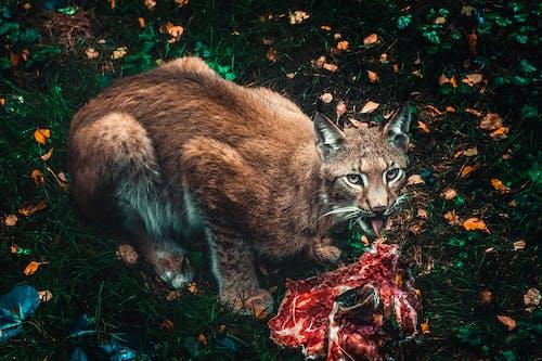 고기, 동물 포트레이트, 발견 된, 스라소니의 무료 스톡 사진