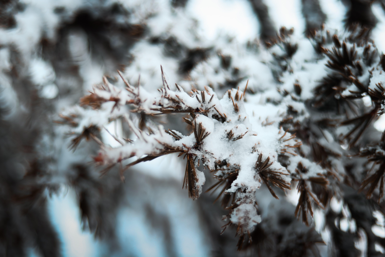 Snowcapped Tree Branch