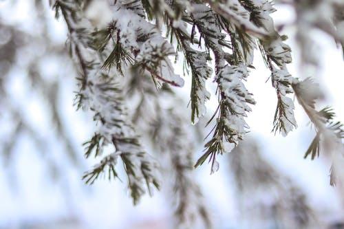 Kostnadsfri bild av blad, frostig, gren, kall