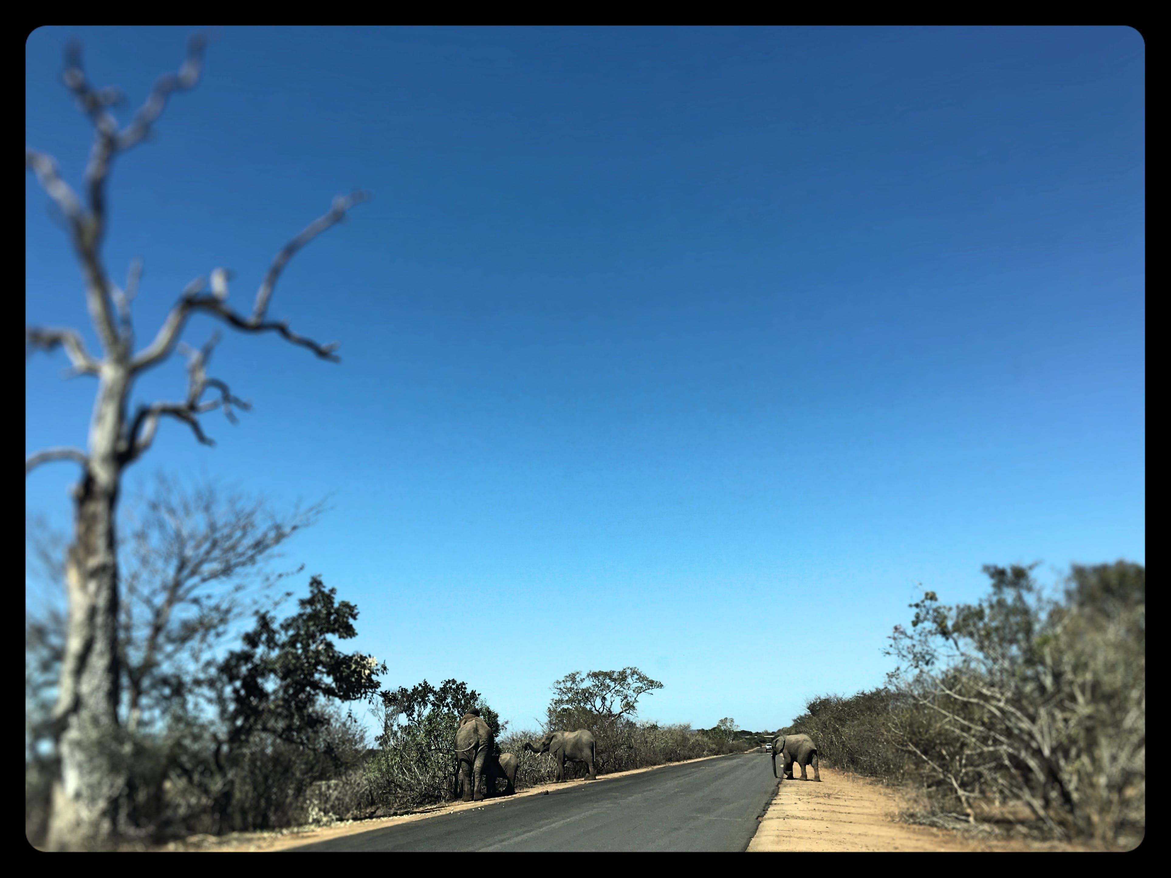 Ảnh lưu trữ miễn phí về Châu phi, con voi, công viên quốc gia kruger, màu xanh da trời