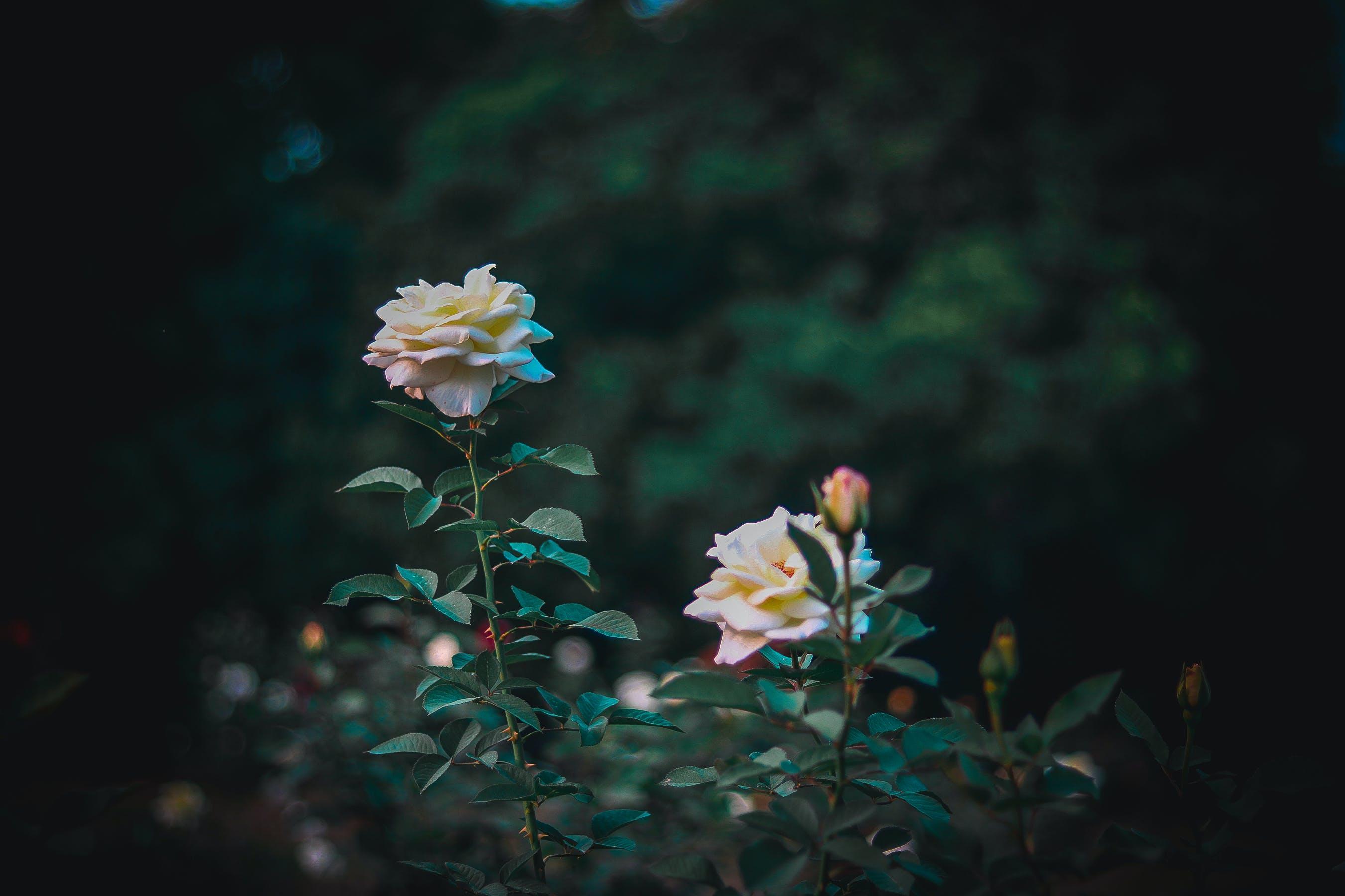 Free stock photo of beautiful, beautiful flower, beautiful flowers, blooming