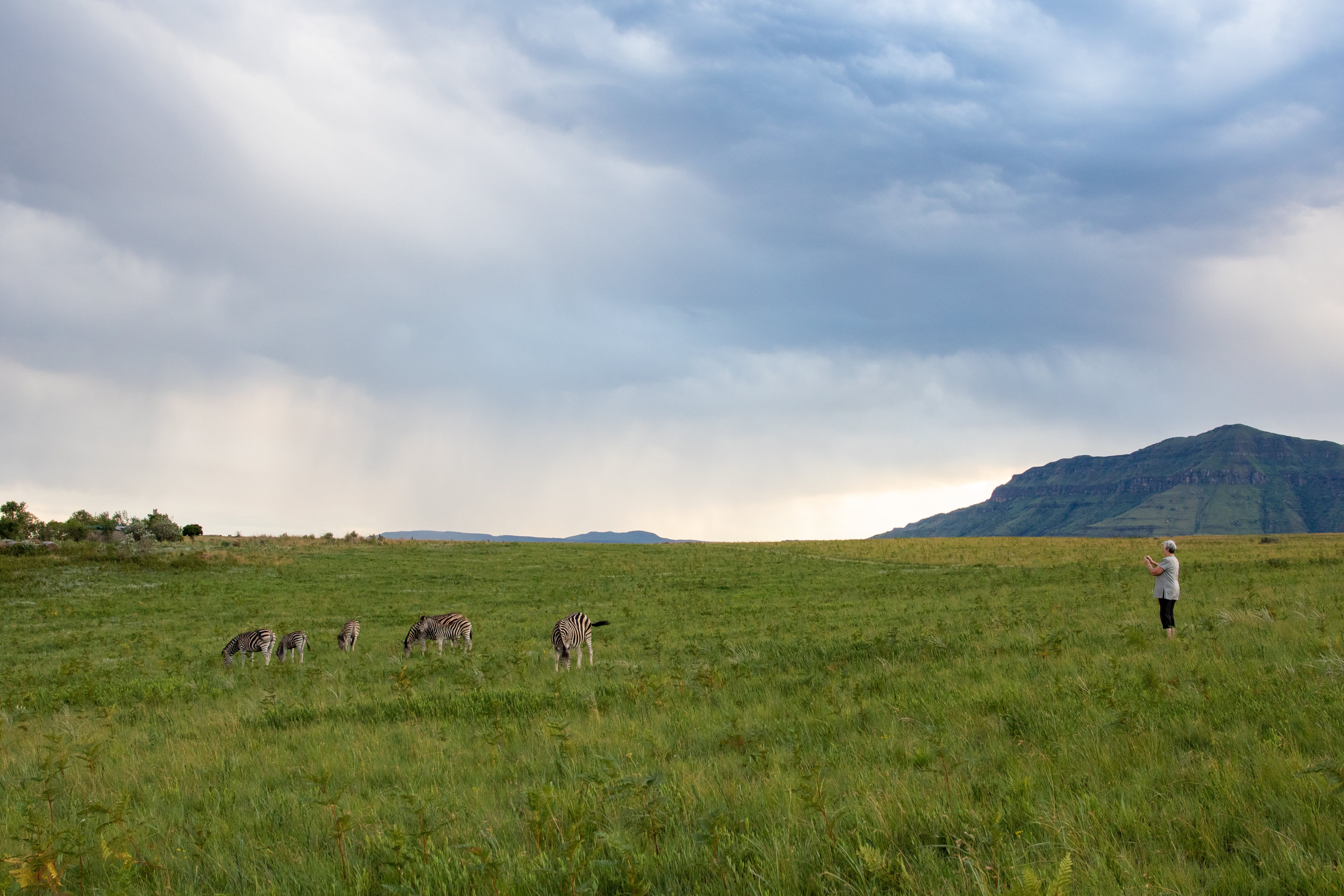 Person Standing In The Middle Of The Field With Herd Of Animals