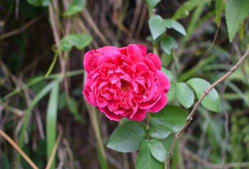 Ilmainen kuvapankkikuva tunnisteilla kukka, rakkaus, ruusu