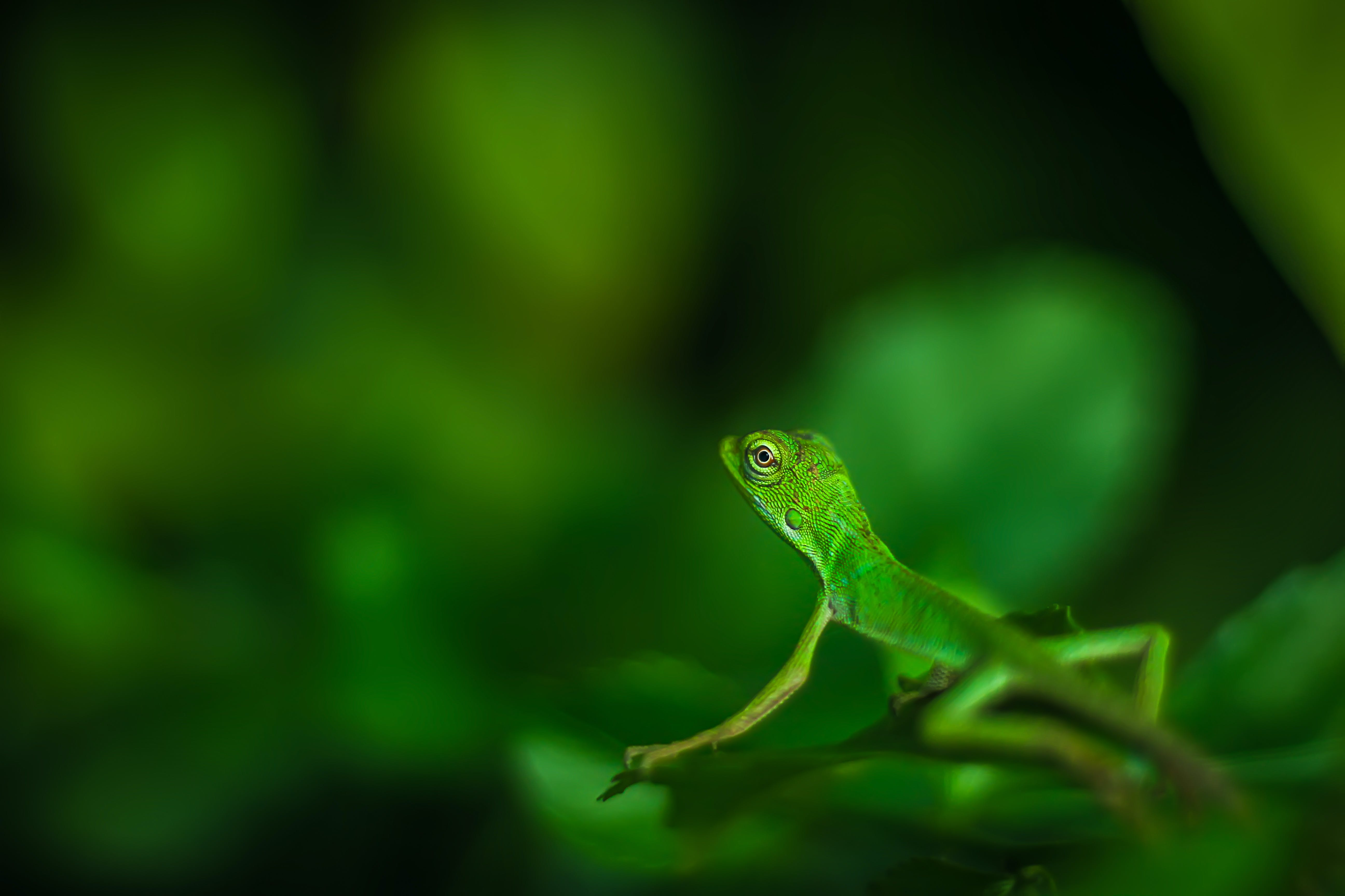 Free stock photo of beautiful, green, iguana, lizard