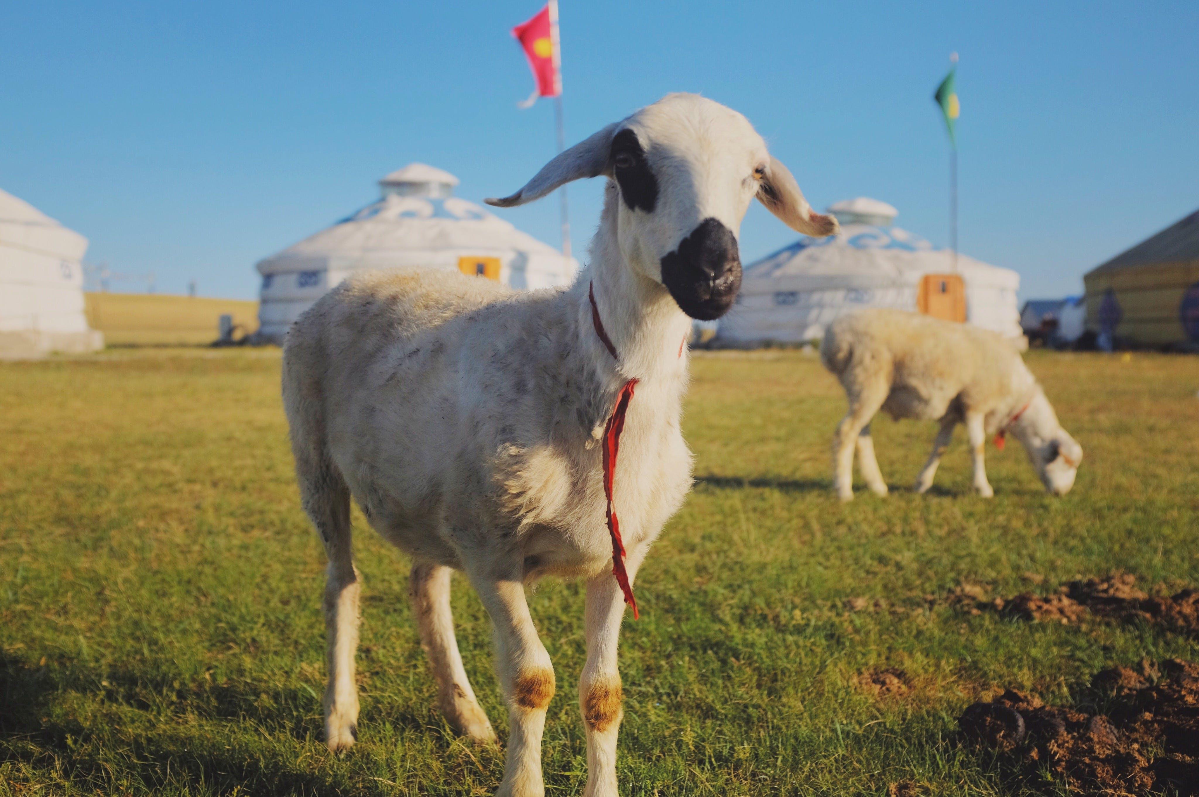 animal, animal farming, mongolia