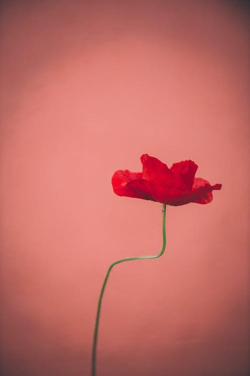 červený kvet, flóra, jemný