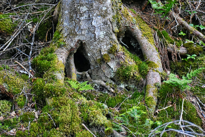 Free stock photo of cave, stump, tree