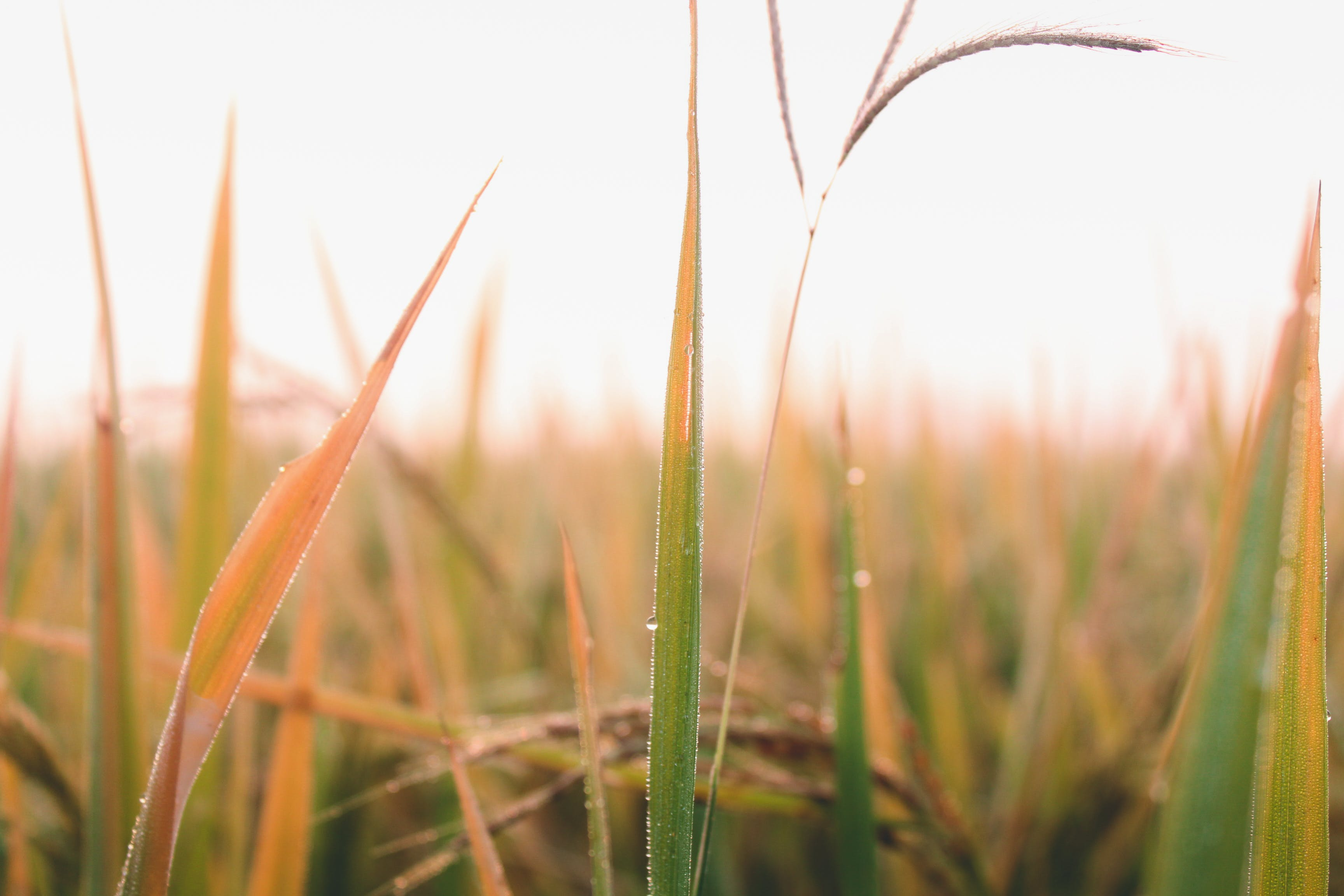 Free stock photo of atmosphere, crops, dew, field