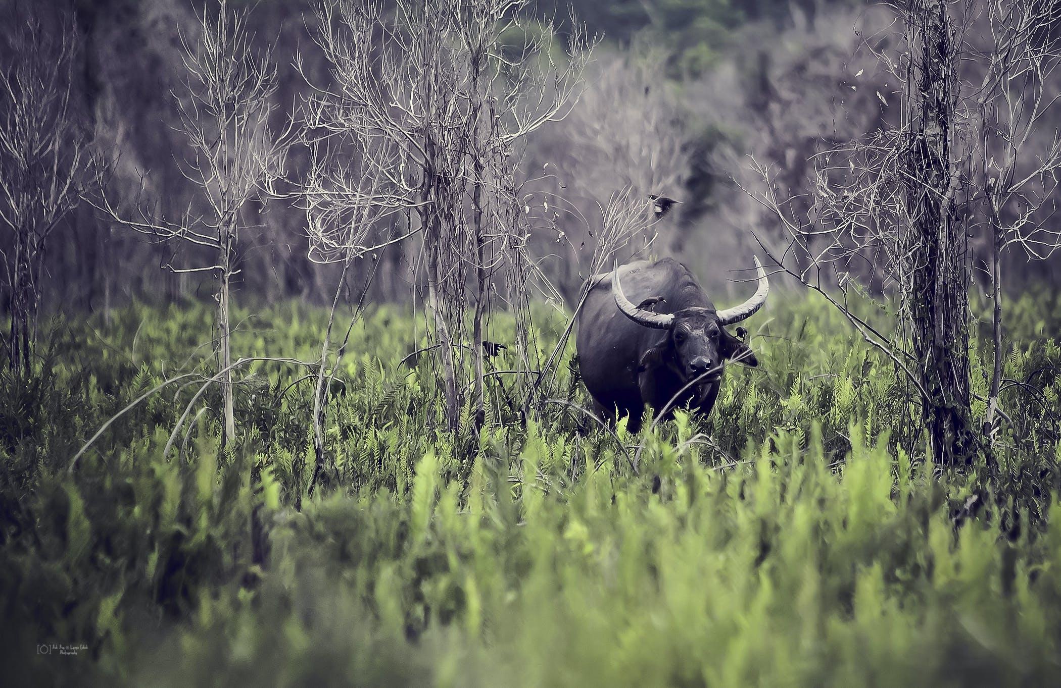 Standing Black Water Buffalo