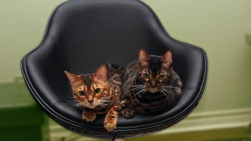 Free stock photo of bengale, cats, cats on chair