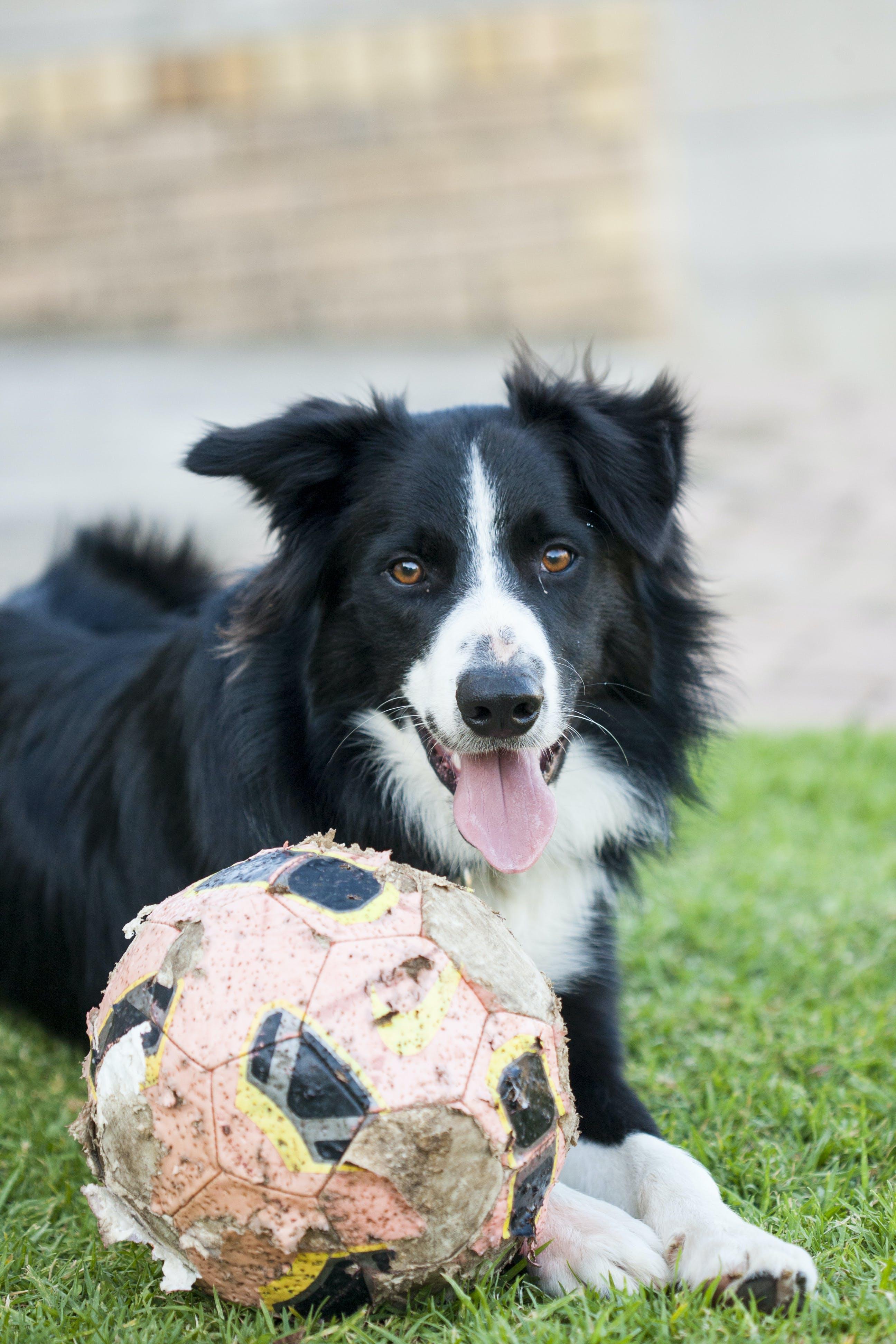 Free stock photo of animal, border collie, dog, dogs