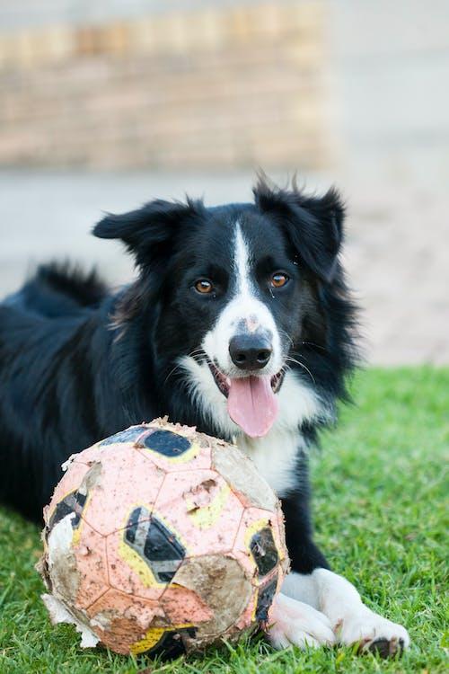 Fotobanka sbezplatnými fotkami na tému borderská kólia, domáce zviera, domáce zvieratá, futbalová lopta