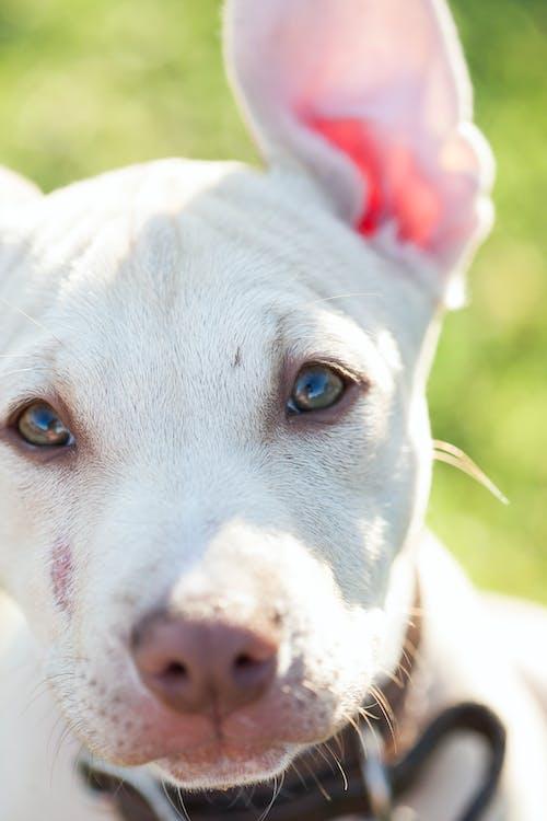 Fotobanka sbezplatnými fotkami na tému domáce zviera, domáce zvieratá, pes, pit bull