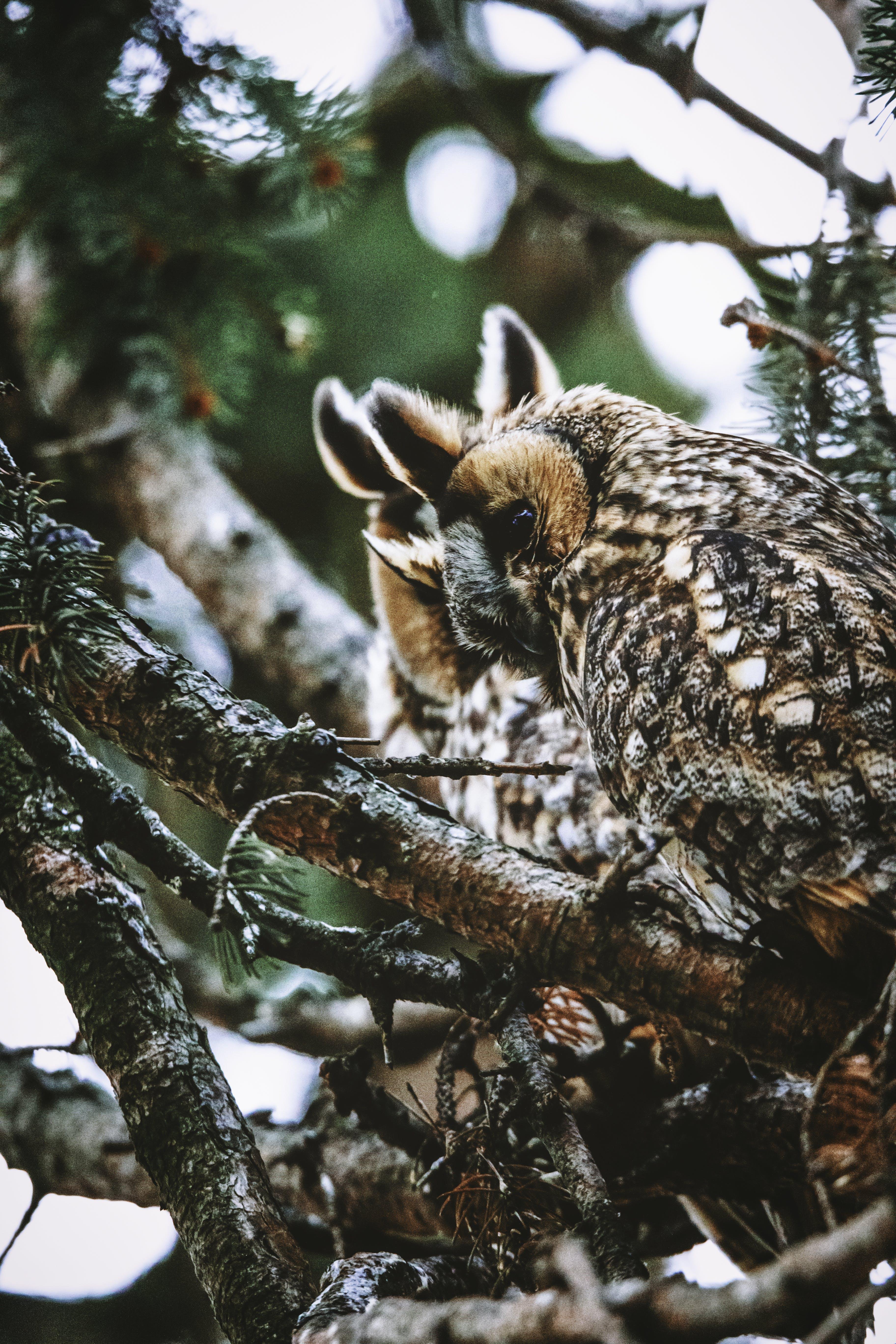 ふくろう, 動物, 木, 枝の無料の写真素材