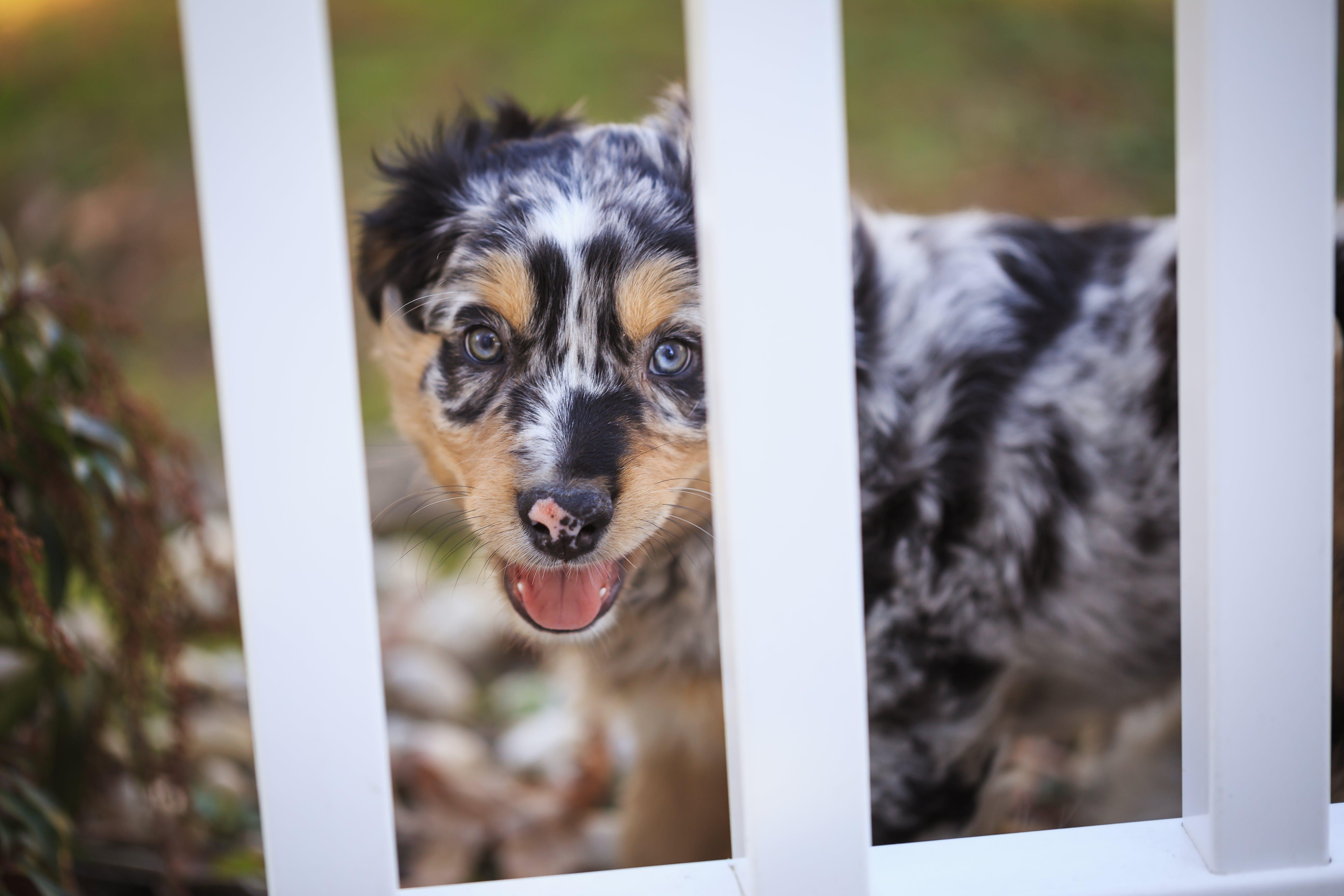 Australian Shepherd Puppy on White Wooden Cage