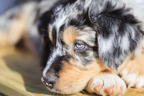 Ilmainen kuvapankkikuva tunnisteilla australianpaimenkoira, koiranpentu