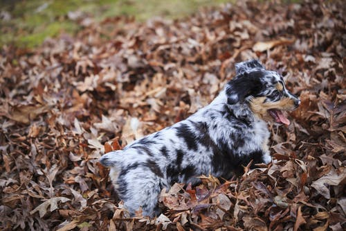 Australian Shepherd Puppy On Dry Leaves