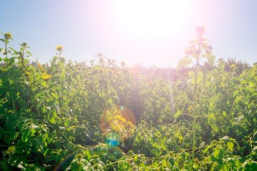 Free stock photo of canada, field, flower, pumpkin patch