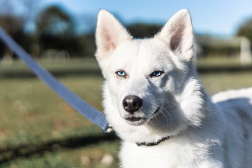 Adult White Siberian Husky On Selective Focus Photography