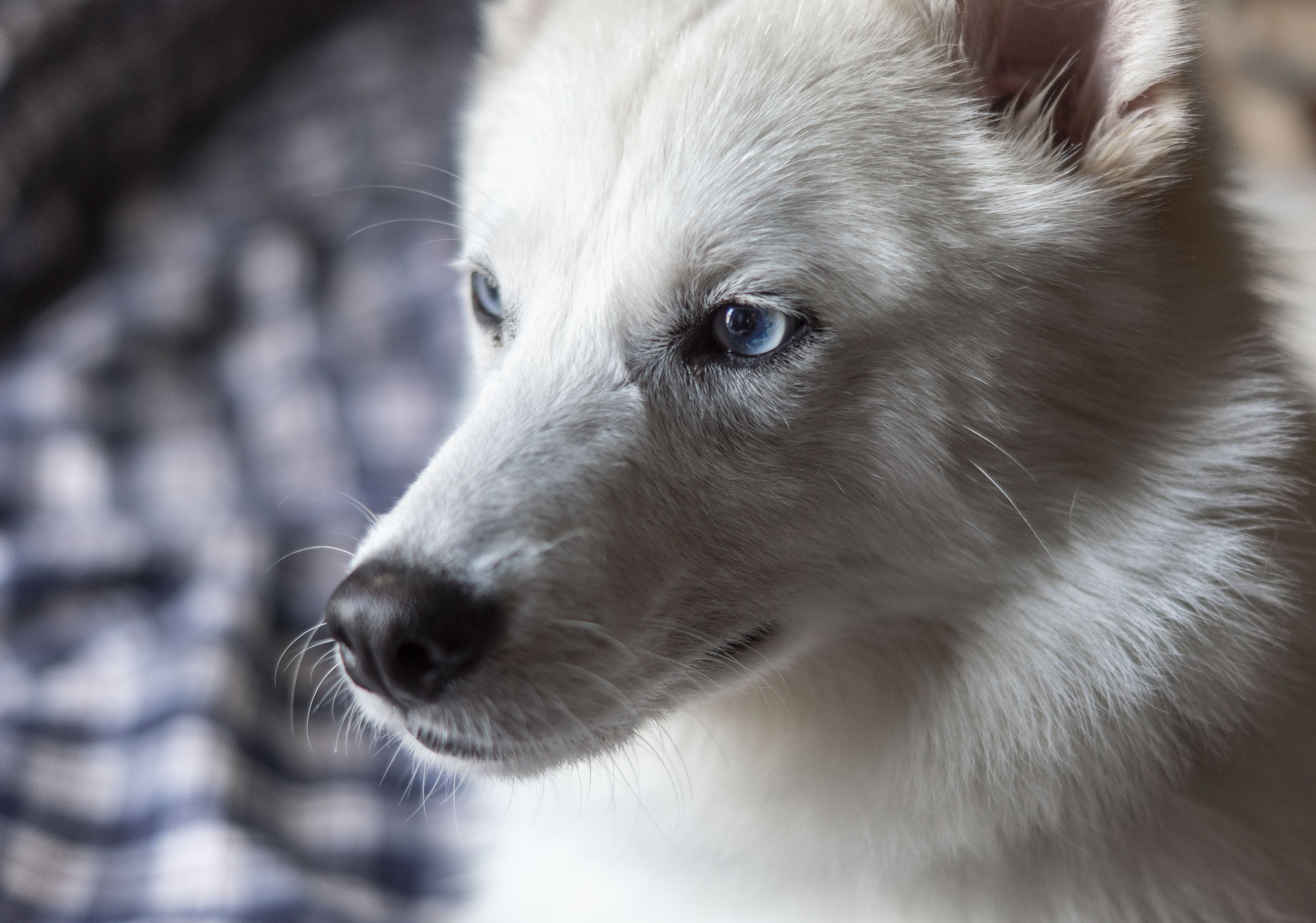 Shallow Focus Photography of Adult White Indian Spitz