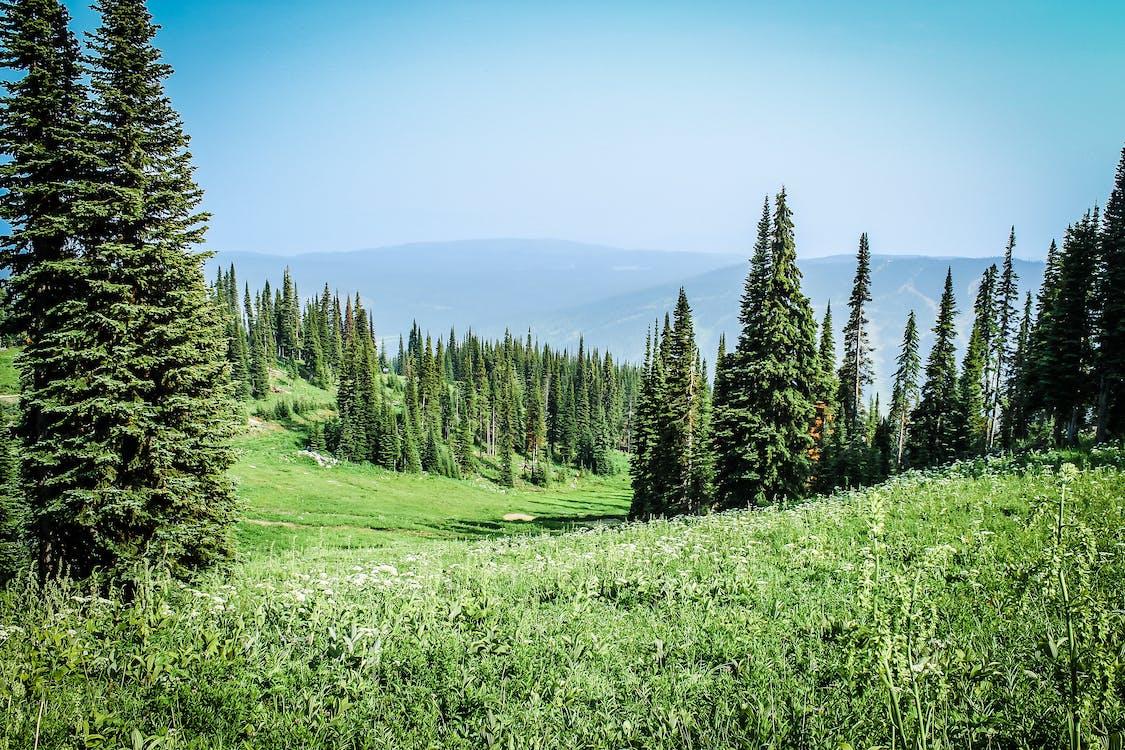 ağaçlar, alan, çam