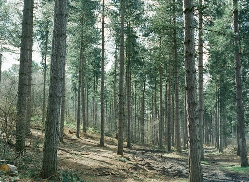 Foto profissional grátis de árvores, conífera, floresta, madeira