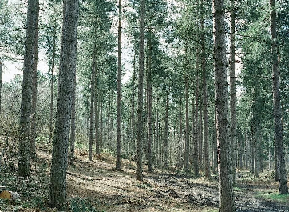 conifer, forest, landscape