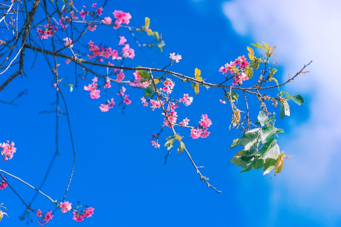 kiraz çiçeği, sakura