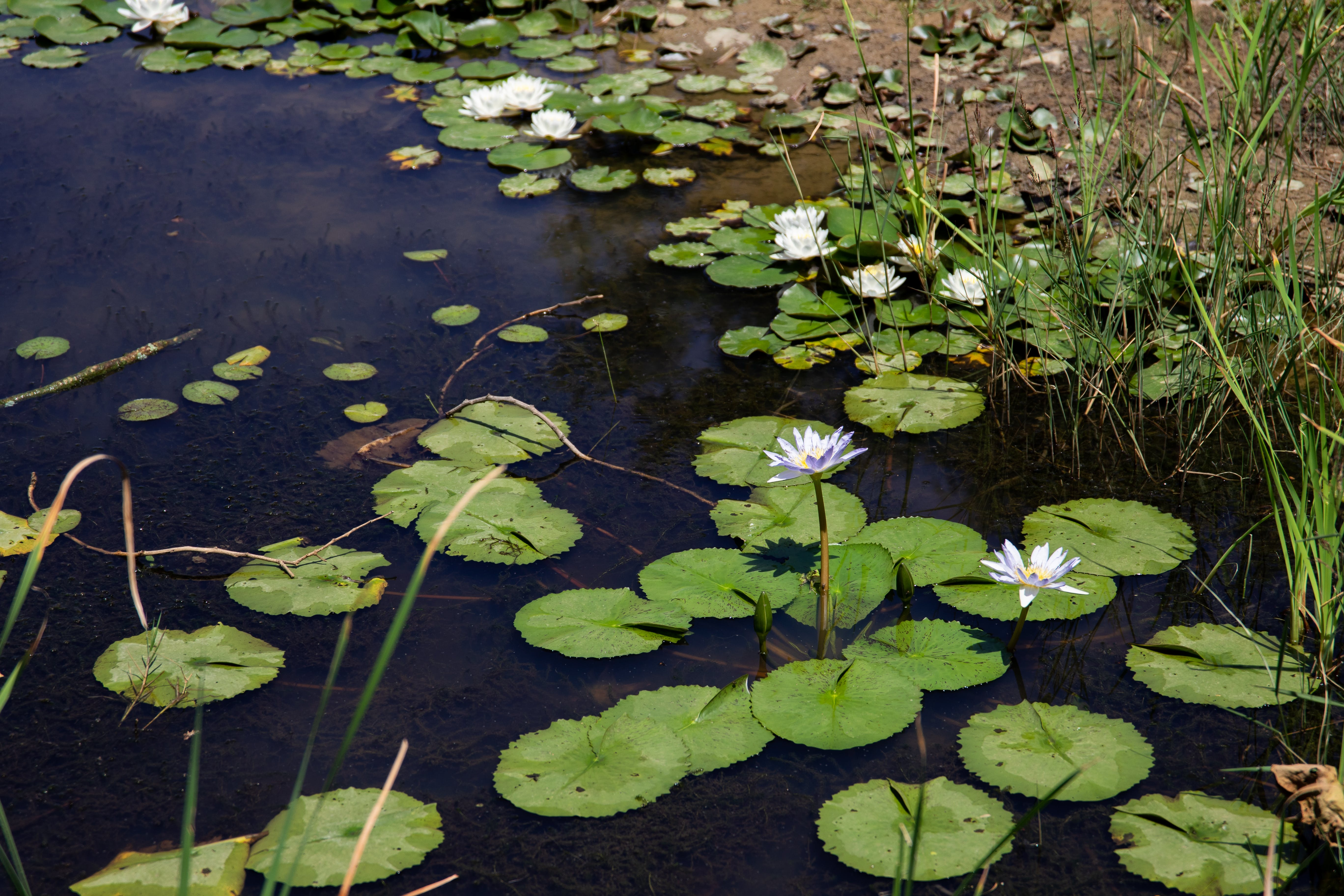 Free stock photo of flowers, grass, nature, pond