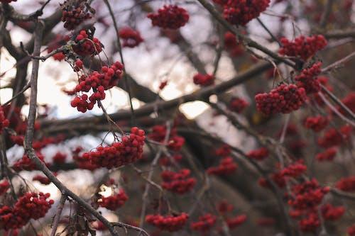 Ingyenes stockfotó bogyók, fa, piros bogyók, természet témában