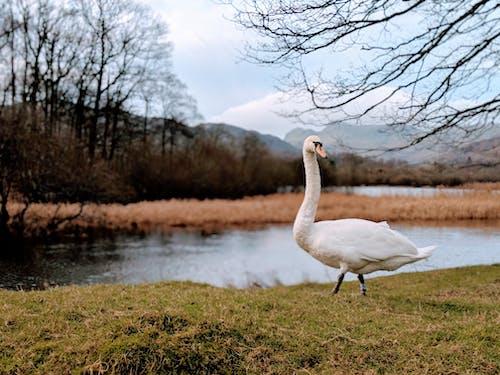Foto stok gratis binatang, burung, danau, Inggris